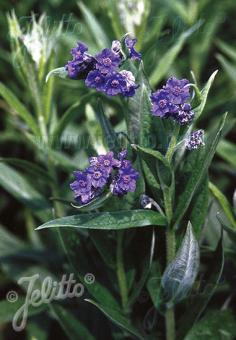 LINDELOFIA longiflora   Portion(s)
