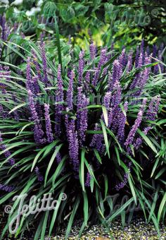 LIRIOPE muscari  'Big Blue' Portion(s)