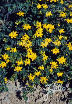 LOTUS corniculatus   Portion(en)