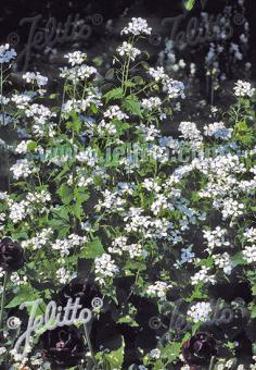 LUNARIA annua var. albiflora   Portion(s)