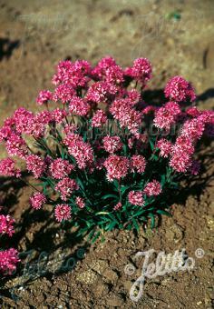 LYCHNIS alpina   Portion(s)
