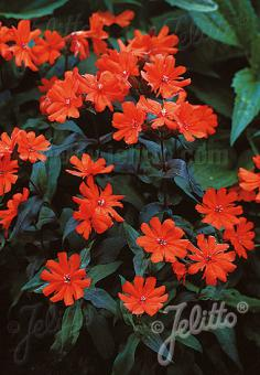 LYCHNIS x arkwrightii  'Orange Zwerg' Portion(s)