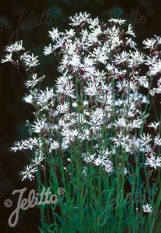 LYCHNIS flos-cuculi  'White Robin' Portion(s)