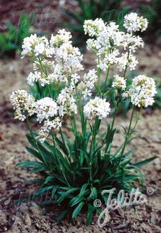 LYCHNIS viscaria Alba  'Schnee' Portion(s)