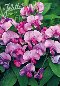 LATHYRUS latifolius  'Red Pearl' Seeds