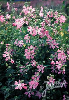 LAVATERA cachemiriana   Seeds