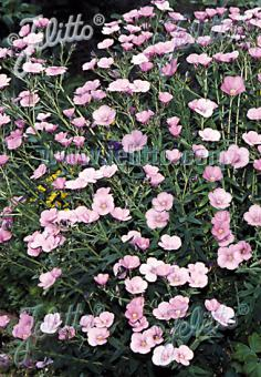 LINUM hypericifolium   Korn