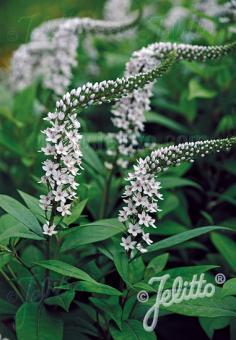LYSIMACHIA clethroides   Seeds