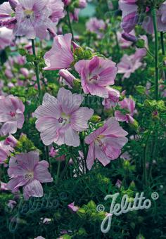 MALVA moschata   Portion(s)