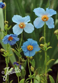 MECONOPSIS betonicifolia   Portion(s)