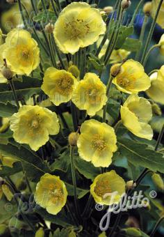 MECONOPSIS paniculata   Portion(s)