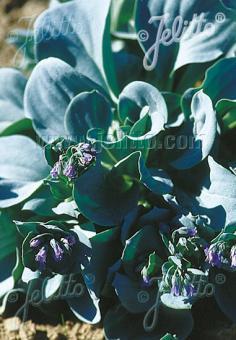 MERTENSIA maritima ssp. asiatica   Portion(s)