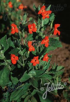 MIMULUS cardinalis   Portion(s)