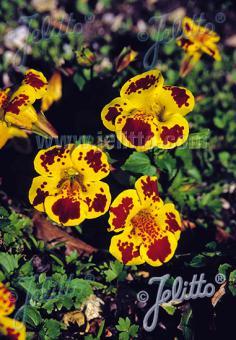 MIMULUS luteus  'Tigrinus Grandiflorus Mixture' Portion(s)