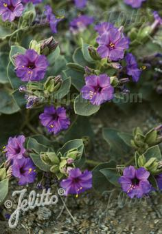 MIRABILIS multiflora   Portion(s)