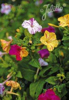 MIRABILIS jalapa  Mixture Portion(s)