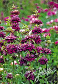 MONARDA Citriodora-Hybr.  'Bergamo' Portion(en)