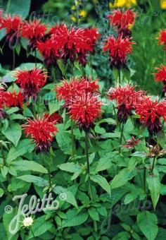 MONARDA didyma   Portion(s)