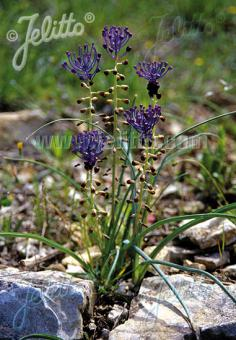 MUSCARI comosum   Portion(s)