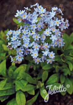 MYOSOTIS sylvatica compacta Victoria-Series 'Victoria Light-blue' Portion(s)