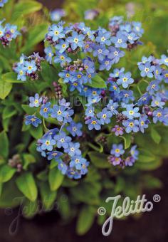 MYOSOTIS sylvatica compacta Victoria-Series 'Victoria Indigo-blue' Portion(s)