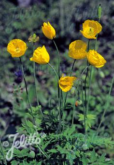 MECONOPSIS cambrica   Seeds