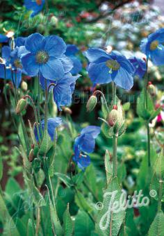MECONOPSIS x sheldonii  'Lingholm' (Fertile Blue Group) Seeds