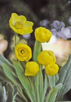 MECONOPSIS integrifolia   Seeds