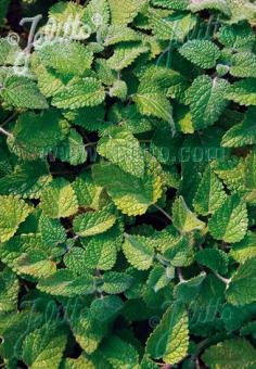 MELISSA officinalis ssp. altissima   Portion(s)