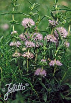 MENTHA cervina   Portion(s)