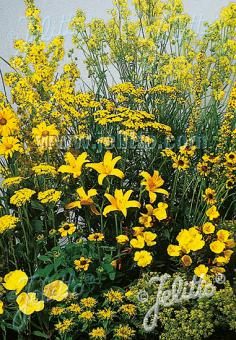 Perennial Mix yellow colors, medium, 30-80 cm Portion(s)