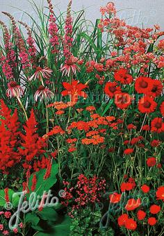 Perennial Mix red colors, medium, 30-80 cm Portion(s)