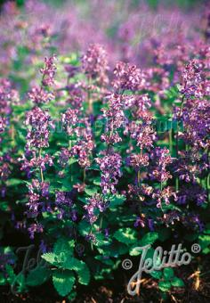 NEPETA racemosa   Portion(en)