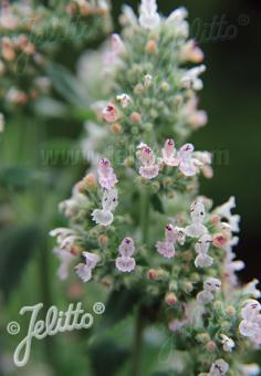 NEPETA cataria ssp. citriodora   Portion(en)