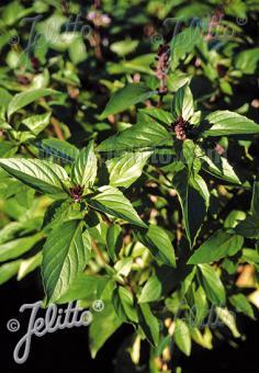 OCIMUM basilicum  'Cinamonette' Portion(s)