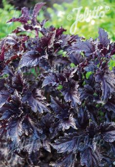 OCIMUM basilicum  'Purple Ruffles' Portion(s)