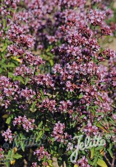 ORIGANUM vulgare  Wildform Portion(en)
