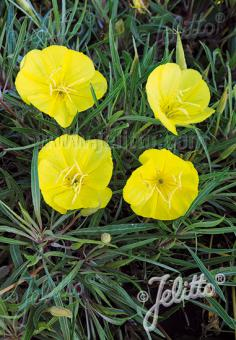OENOTHERA macrocarpa ssp. fremontii  'Silver Wings' Korn