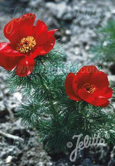 PAEONIA tenuifolia   Portion(s)