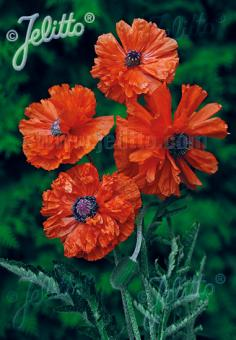 PAPAVER Orientale-Hybr.  plena 'May Queen' Portion(s)