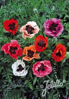 PAPAVER Orientale-Hybr.  'Pizzicato' Portion(s)