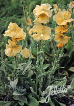 PAPAVER pilosum ssp. spicatum   Portion(s)