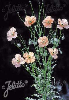 PAPAVER triniifolium   Portion(s)