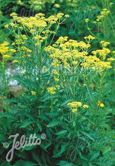 PATRINIA scabiosifolia   Portion(s)