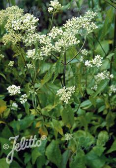 PATRINIA villosa   Portion(s)