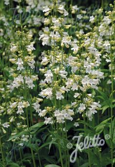 PENSTEMON digitalis   Portion(en)