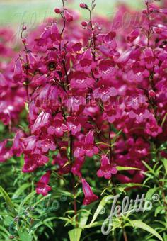 PENSTEMON hartwegii  'Giganteus' Portion(s)