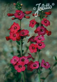 PENSTEMON superbus   Portion(s)