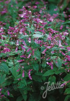 PENSTEMON smallii   Portion(s)