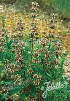 PHLOMIS samia  (true) Portion(s)